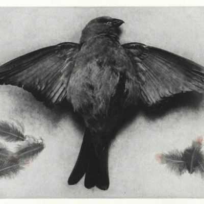 Bird Death Feathers: photogravure etching with feathers