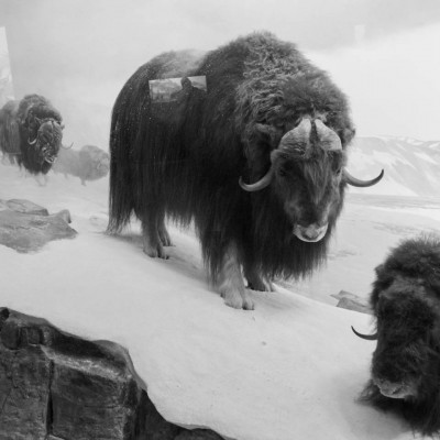 Illusion: musk oxen